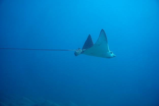 La raie aigle tachetée aetobatus narinari nageant dans la mer