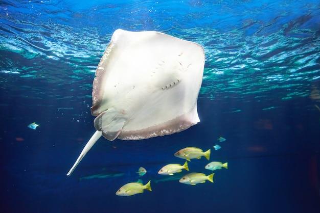 Raie manta flottant sous l'eau près des récifs coralliens