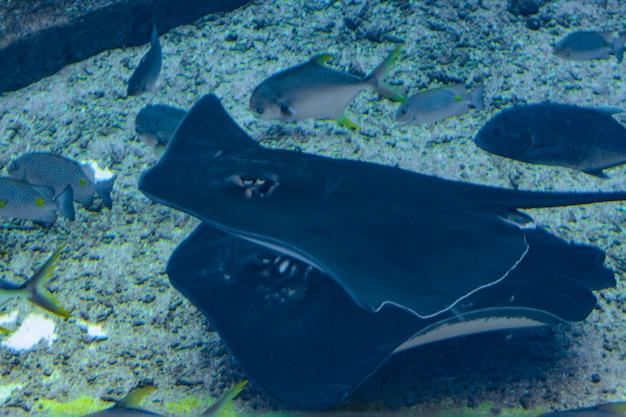 Raie pastenague nageant sous l'eau. la raie à queue courte ou raie pastenague (bathytoshia brevicaudata) est une espèce commune de raie pastenague de la famille des dasyatidae. atlantis, sanya, île de hainan, chine.