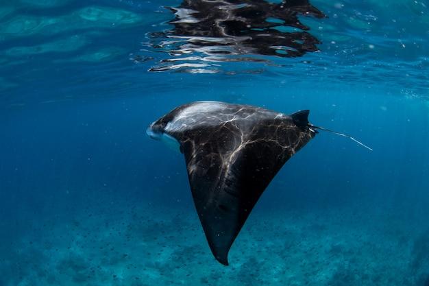 Raies manta dans la baie de hanifaru, maldives