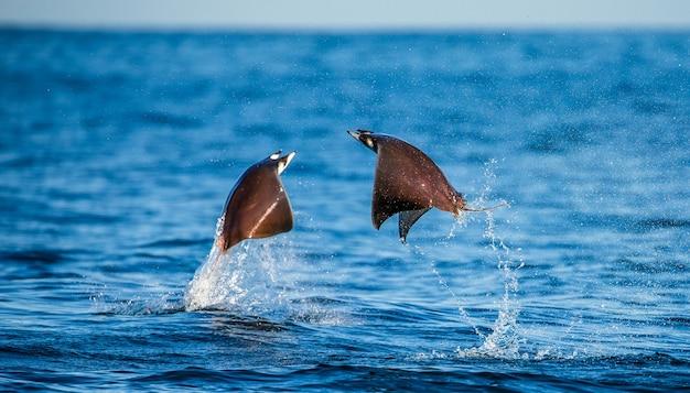 Les raies mobula sont des sauts hors de l'eau. mexique