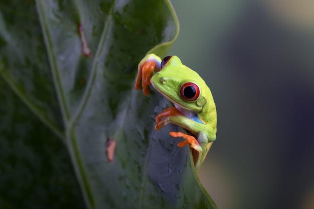 Rainette aux yeux rouges accrochée à une feuille d'anthurium