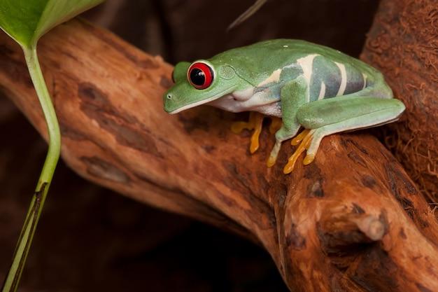 Rainette aux yeux rouges accroupie sur une branche regardant vers le bas et se préparant à sauter