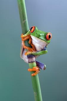 Rainette aux yeux rouges sur bâton de bambou