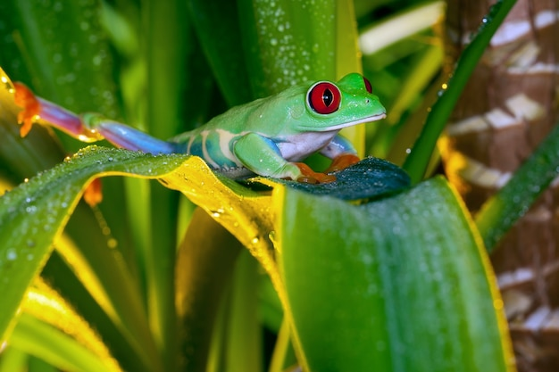 La rainette aux yeux rouges grimpant sur des feuilles vertes avec des gouttes d'eau en lumière jaune