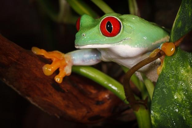 Rainette aux yeux rouges surveillant attentivement l'environnement entre la branche et les feuilles de la plante