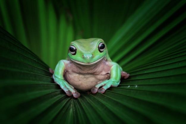 Rainette Blanche Australienne Assis Sur Des Feuilles Vertes Photo Premium