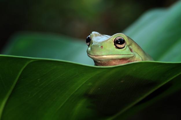 Rainette blanche australienne assis sur des feuilles vertes