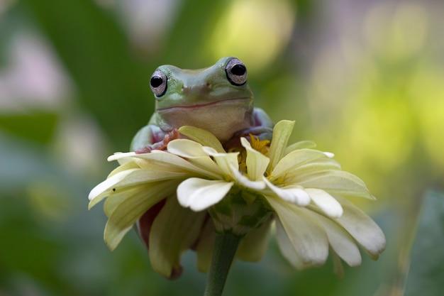 Rainette blanche australienne assis sur une fleur
