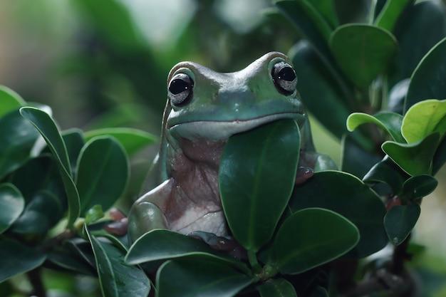 Rainette blanche australienne sur feuilles vertes