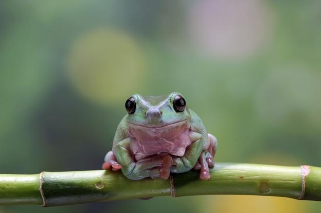 Rainette sur une branche gros plan grenouille trapue