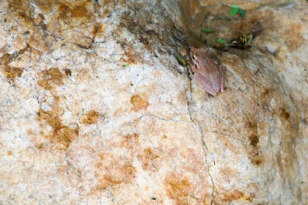 Rainette cogner le dessus de la pierre en ajustant la peau