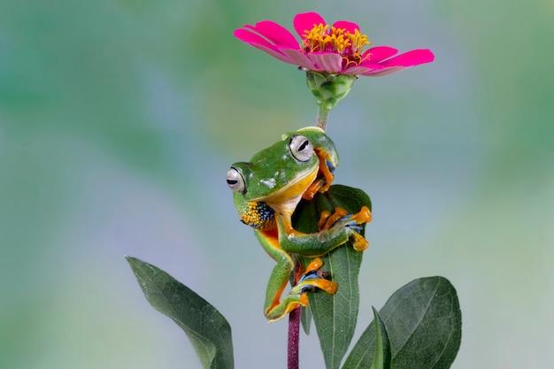 Rainette de javan sur fleur, rainette sur fleur