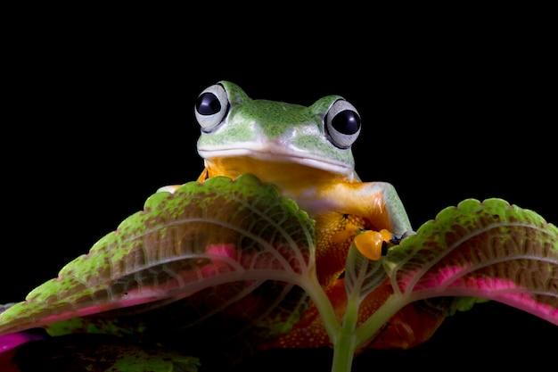 Rainette de javan vue de face sur congé vert