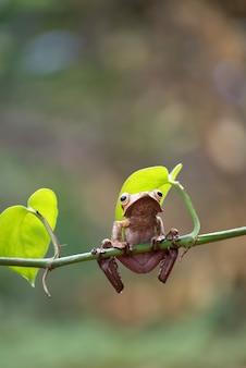 Rainette à oreilles de bornéo sur une branche d'arbre