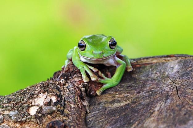 Rainette verte, grenouille décharnée, papouane rainette verte