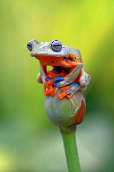 Rainette volante, grenouille wallace, rainette javanaise, rhacophorus reinwardtii