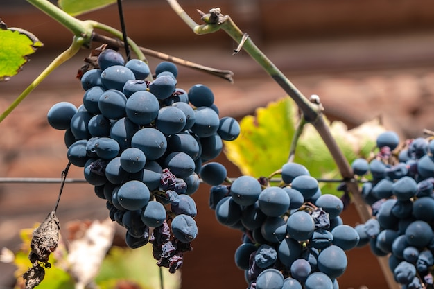 Raisin bleu dans le jardin, vendanges, fruits. kakheti.