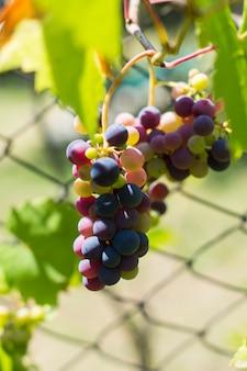 Raisin frais dans vignoble