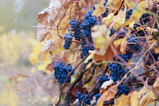 Raisin rouge en automne avec des feuilles d'or