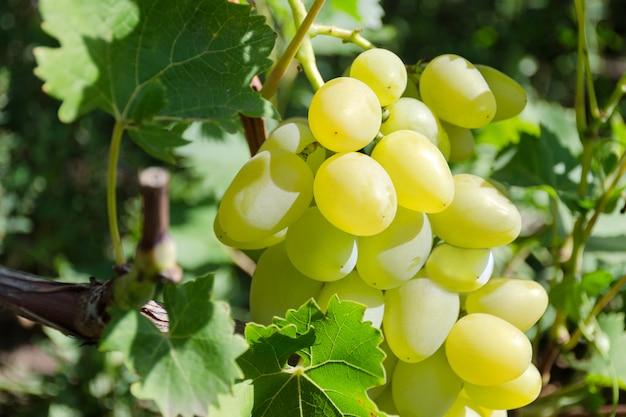 Raisin de tris blancs sur une vigne.
