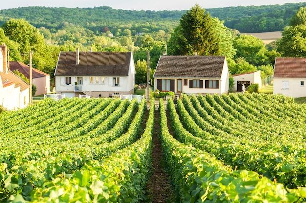 Raisin vert vigne en rang dans les vignobles de champagne à la montagne de reims sur le village de campagne