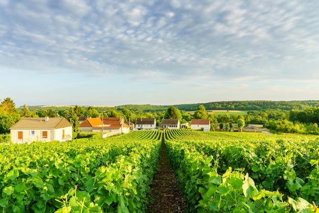 Raisin vert vigne en rang dans les vignobles de champagne à la montagne de reims