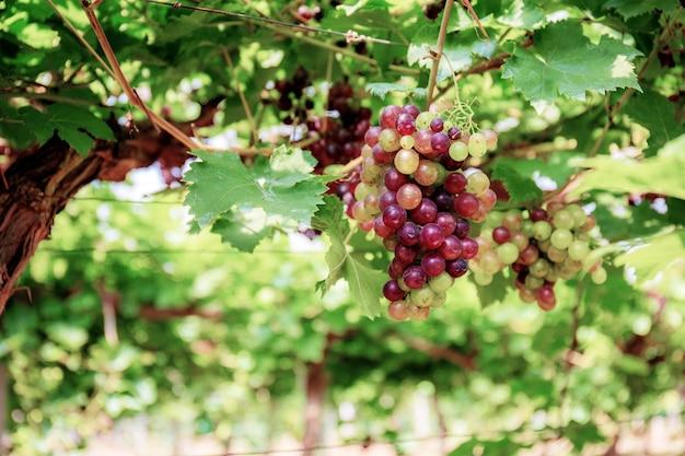 Raisins sur arbre dans le vignoble avec la lumière du soleil.