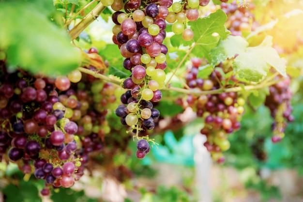 Raisins sur arbre dans vignoble.