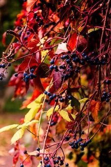 Raisins d'automne sauvage, automne doré