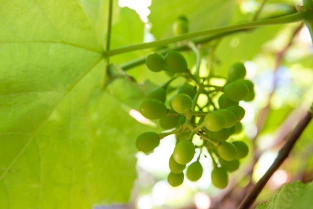 Raisins, beaux raisins encore verts entourés de feuilles de vigne. mise au point sélective.