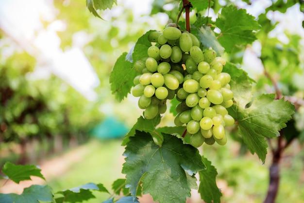 Raisins blancs sur l'arbre.