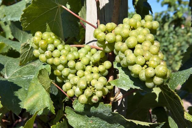 Des raisins blancs dans le vignoble