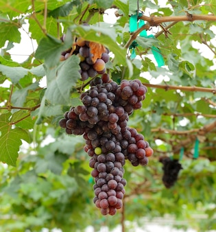 Raisins blancs suspendus à une vigne verte luxuriante avec un espace de vignoble flou