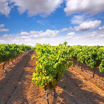 Raisins bobal méditerranéens dans le vignoble