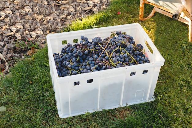 Raisins de cabernet dans une boîte après la récolte d'automne