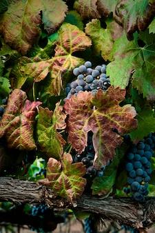Raisins cachés par les feuilles
