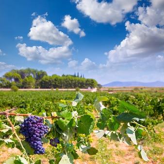 Raisins de cuve bobal prêts à être récoltés en méditerranée