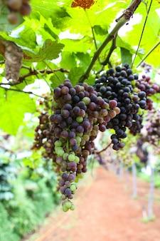 Des raisins dans des plantations en thaïlande.
