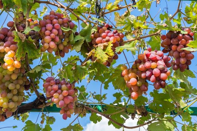 Raisins, dans, vignoble