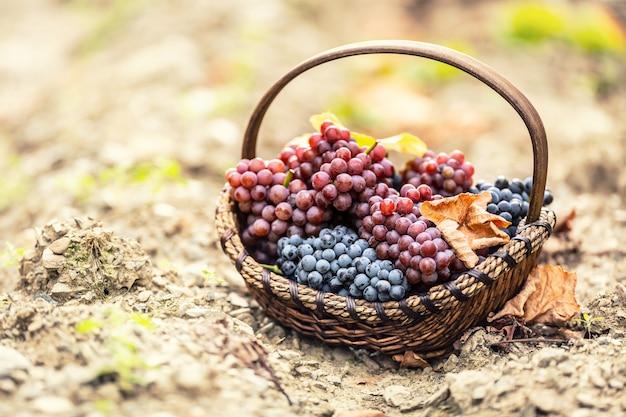 Raisins doux et savoureux dans le bois se prélassent après une cueillette d'automne.