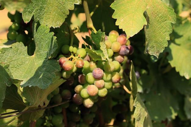 Raisins frais dans le vignoble