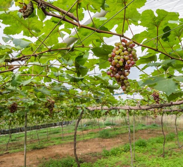 Raisins immatures sur la vigne