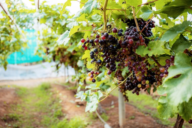 Raisins mûrs en ferme.