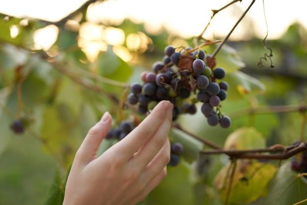 Raisins nature feuilles vertes vinification