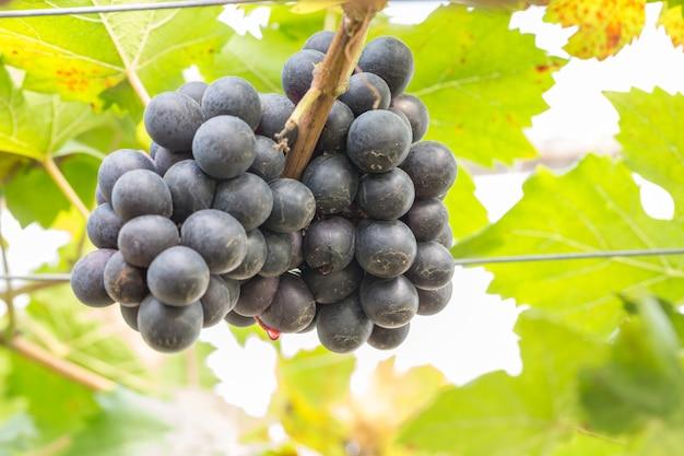 Raisins noirs dans le vignoble