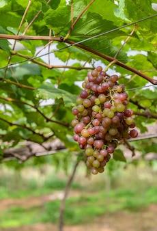 Raisins non mûrs sur la vigne
