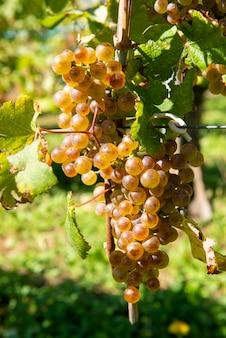 Des raisins pour le vin de jurançon dans le sud-ouest de la france