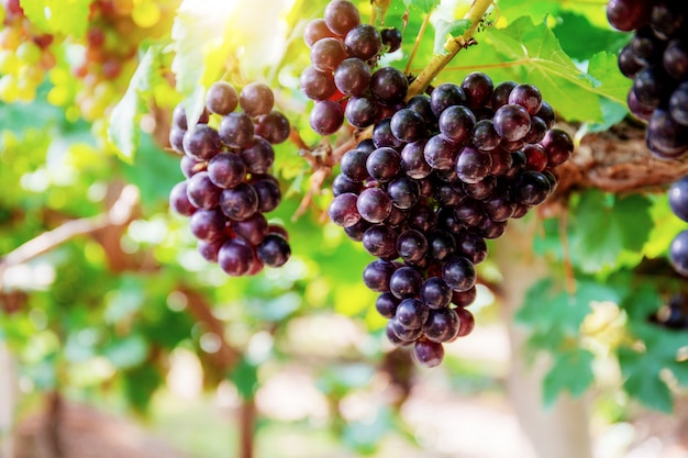 Raisins rouges sur arbre dans le vignoble avec la lumière du soleil de la thaïlande.