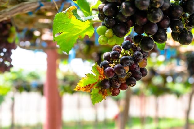 Raisins rouges pourpres avec des feuilles vertes sur le vin